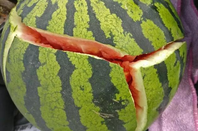 西瓜为什么会裂开